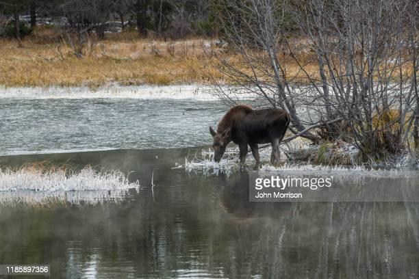 närbild av älg bete i iskallt vatten grand teton national park i slutet av hösten - älg bildbanksfoton och bilder