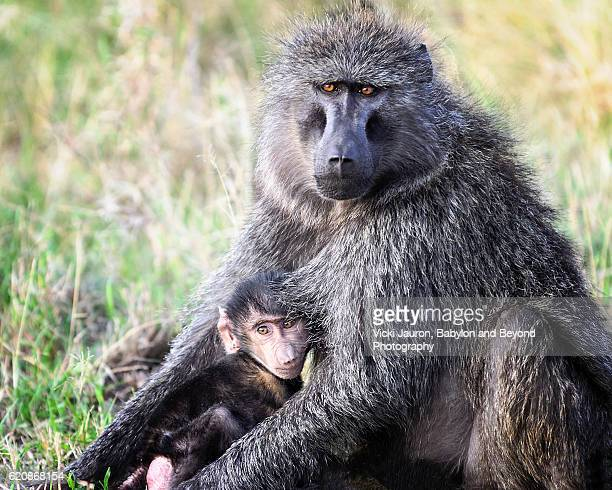 Close Up of Mother and Baby Olive Baboon in Serengeti National Park, Tanzania