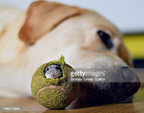 Close Up Of Mouse In Tennis Ball