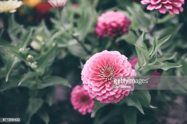 Close up of multi colored dahlia flowers
