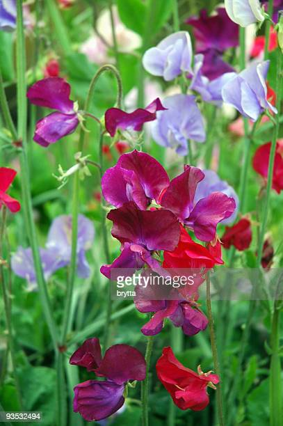 Close- up of multicolored blooming sweet peas