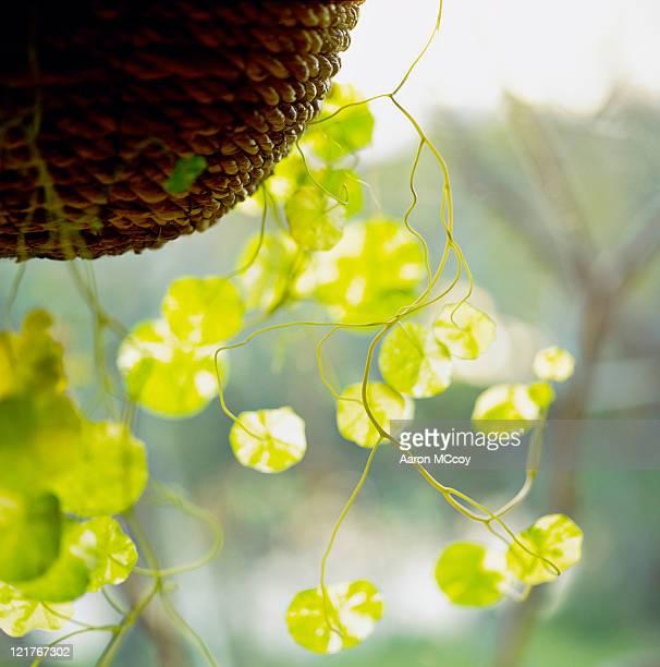 close up of nasturtium (trapaeolum) leaves in hanging basket - nasturtium stock pictures, royalty-free photos & images