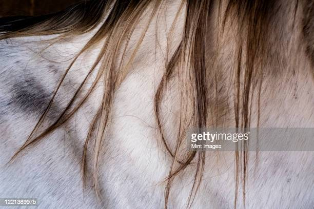 close up of neck of white cob horse with tan mane. - herbivorous stock pictures, royalty-free photos & images