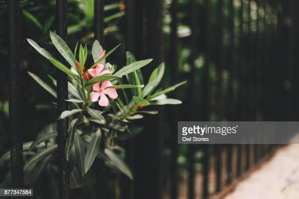 Close up of nerium oleander