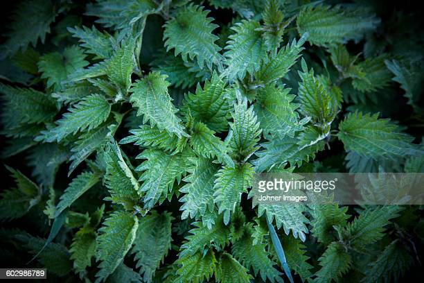 Close up of nettle