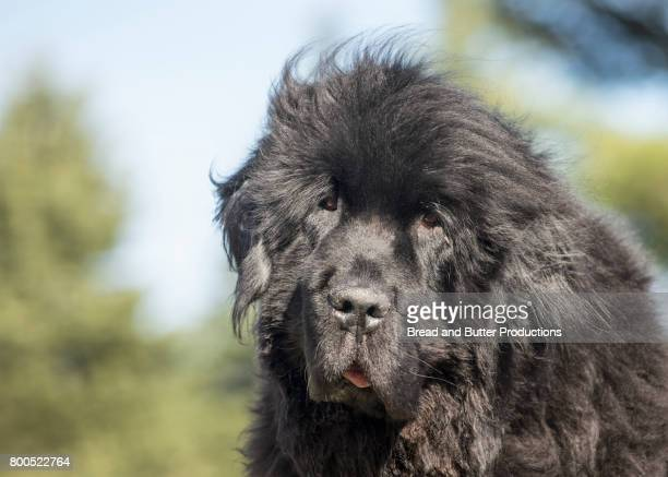 close up of newfoundland dog outdoors - newfoundland dog stock photos and pictures
