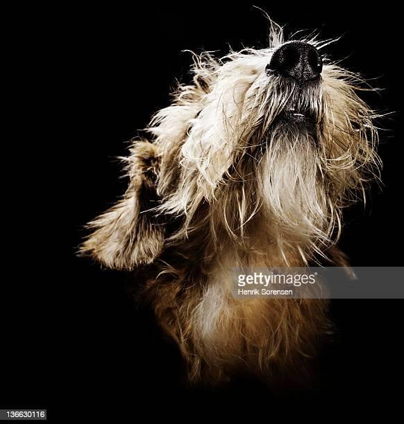close up of norfolk terrier - norfolk terrier photos et images de collection