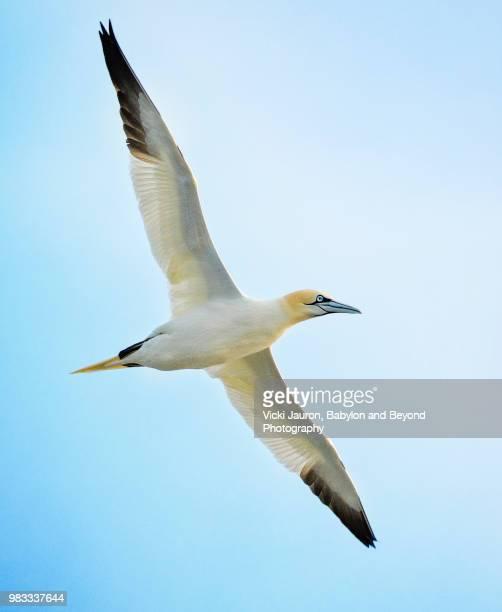 close up of northern gannet in flight - jan van gent stockfoto's en -beelden