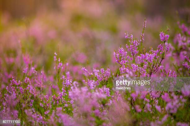 close up of norwegian common heather - heather stock photos and pictures