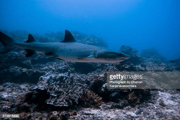 Close up of nurse shark swimming near coral reef.