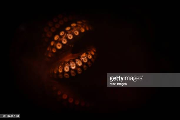 Close up of octopus tentacles lit up, glowing red on a black background.