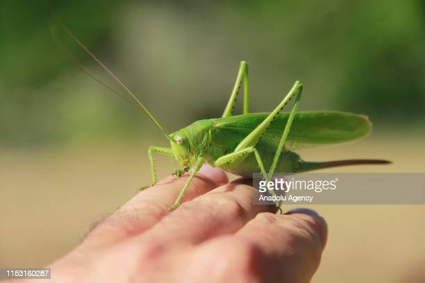 Close up of of a grasshopper sitting on a person's hand at Munzur Valley National Park in Ovacik district of Tunceli Turkey on July 01 2019 Munzur...