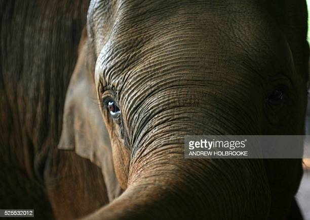 A close up of one of the orphaned endangered wild elephants rescued and now kept at the Pinnawela Elephant Orphanage a tourist destination in the...