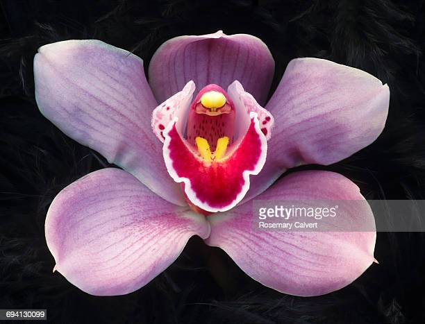 Close up of one pink phalaenopsis orchid on black.