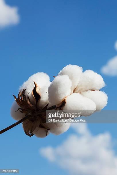 close up of open boll of cotton - katoenbol stockfoto's en -beelden
