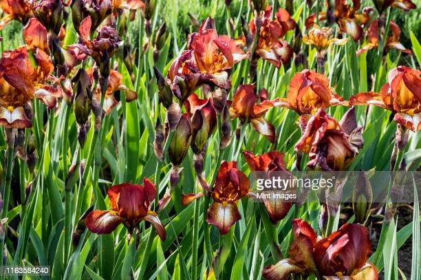 close up of orange and red bearded irises with lush green foliage. - bearded iris stock pictures, royalty-free photos & images