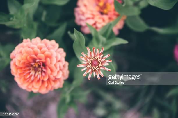 Close up of orange dahlia