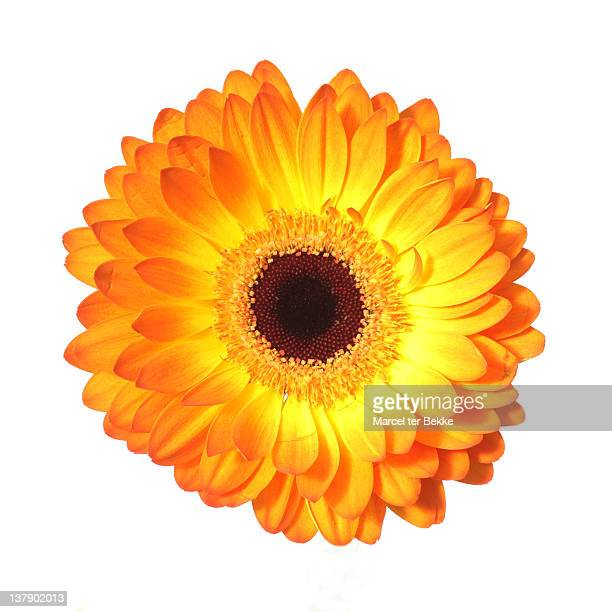 close up of orange gerbera - flower head stock pictures, royalty-free photos & images