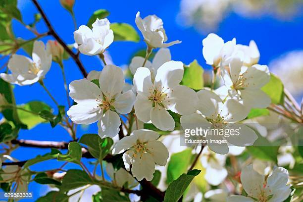 Close up of ornamental crabapple tree blossoms in spring with blue sky background An ornamental apple tree in a yard in Moscow Idaho taken in early...