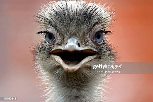 close up of ostrich head - avestruz fotografías e imágenes de stock