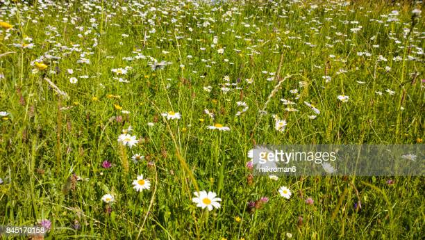 close up of  ox-eye daisy daisies in tipperary meadow on sunny summer day, ireland. - uncultivated stock pictures, royalty-free photos & images