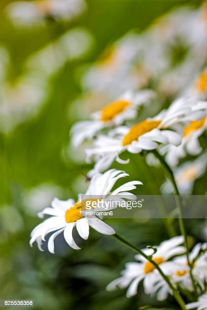 close up of  ox-eye daisy in tipperary meadow on sunny summer day, ireland. - daisy stock photos and pictures