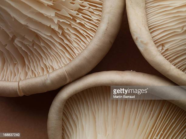 close up of oyster mushrooms - edible mushroom stock pictures, royalty-free photos & images