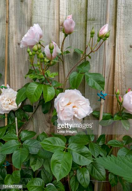 Close up of pale pink rose 'The Generous Gardener' growing on a wooden fence in the garden in summer.