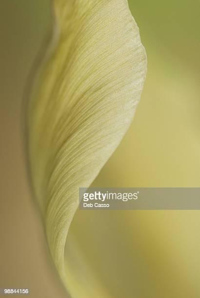 Close up of pale tulip
