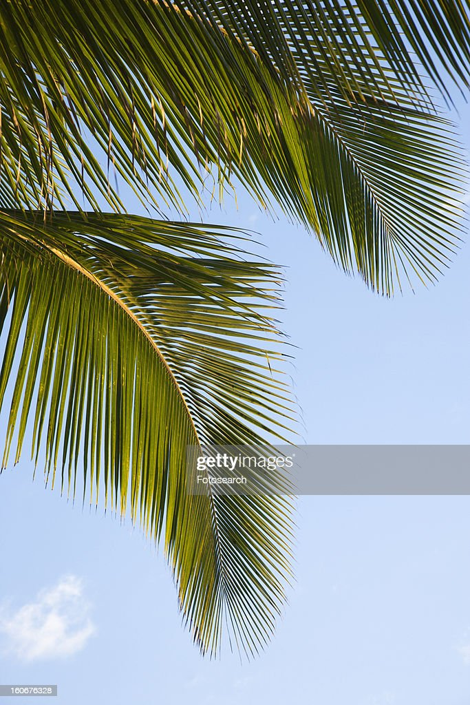 Close up of palm frond against blue sky in Maui, Hawaii, USA : Photo