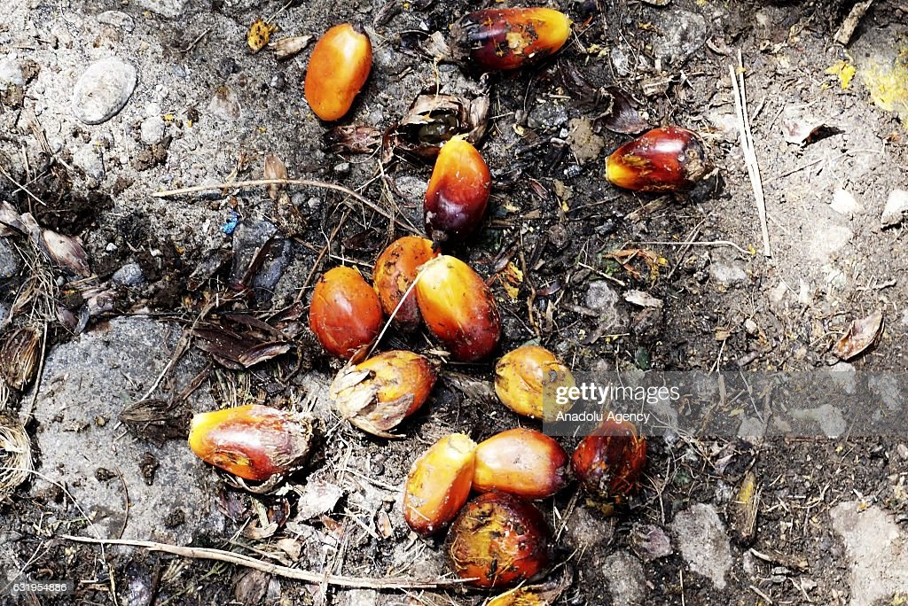 Palm Oil Culture in Indonesia : News Photo