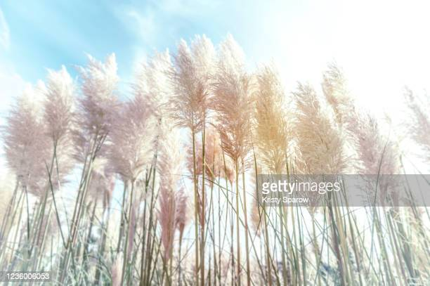 close up of pampas grass in the sunlight - kristy sparow stock pictures, royalty-free photos & images