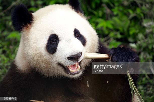 close up of panda eating