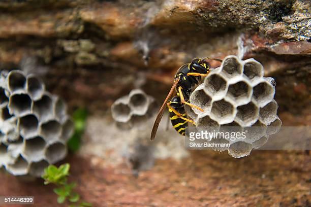 close up of paper wasp on nest - nido di vespe foto e immagini stock