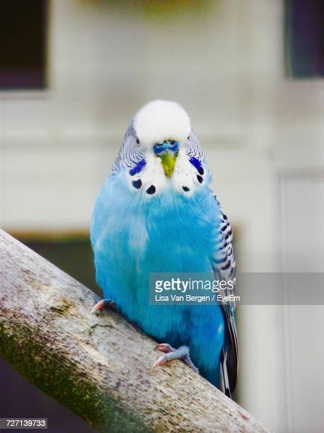 close up of parrot - parakeet stock photos and pictures