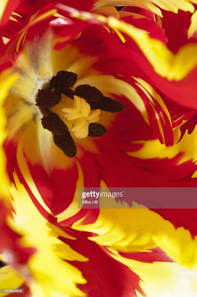 Close up of Parrot Tulip : Stock Photo