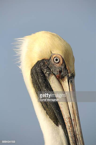 close up of pelican - freshwater bird stock photos and pictures