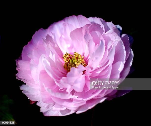 Close up of Peony  flower