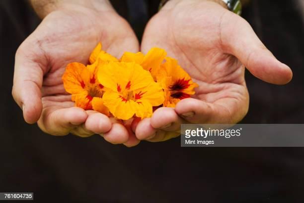 Close up of person holding bright orange edible nasturtiums.