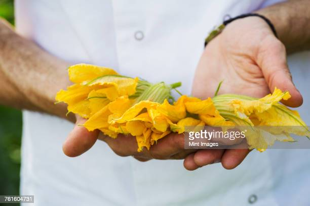 Close up of person holding bright yellow edible courgette flowers.