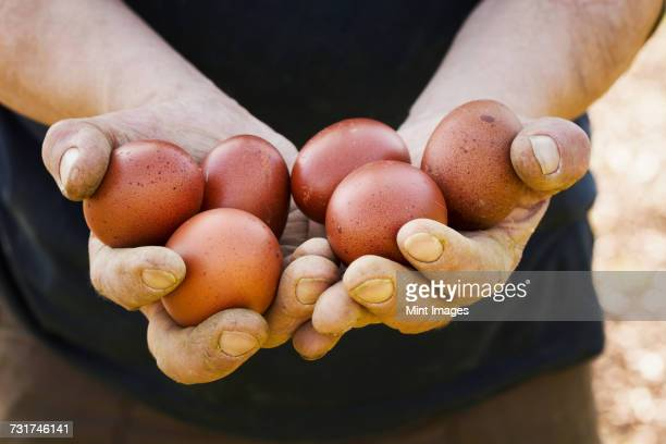 Close up of person holding fresh brown coloured hens eggs.