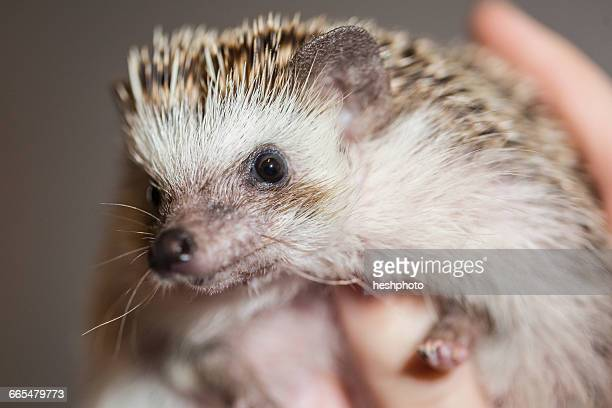 close up of person holding hedgehog - heshphoto stock pictures, royalty-free photos & images