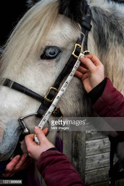close up of person measuring length of bridle cheek piece on white cob horse. - herbivorous stock pictures, royalty-free photos & images