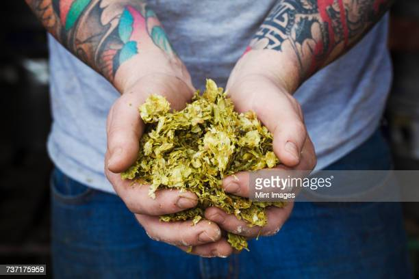 Close up of person standing in a brewery, holding some hops, tattooed arms.