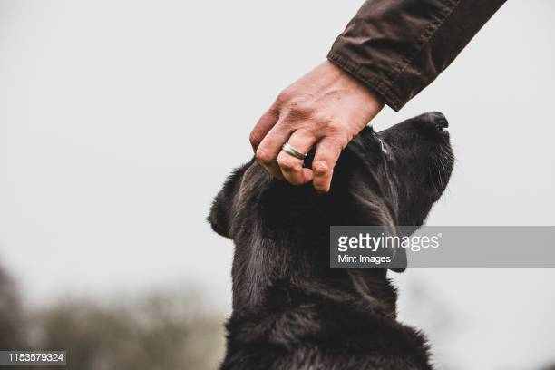 close up of person stroking black labrador dog's head. - labrador preto imagens e fotografias de stock