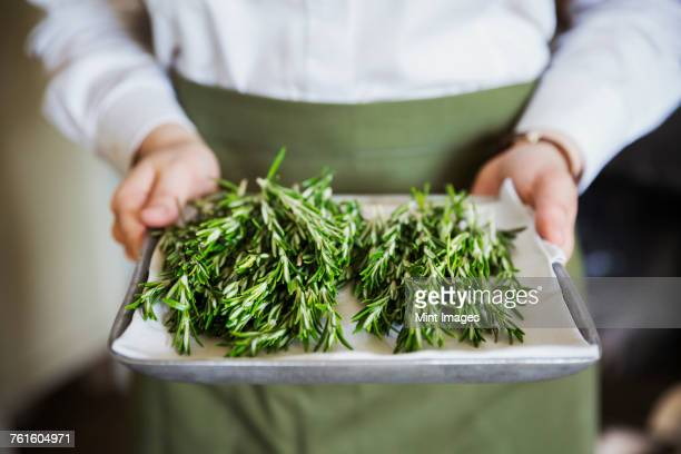 close up of person wearing apron holding tray with fresh rosemary. - rosemary stock pictures, royalty-free photos & images