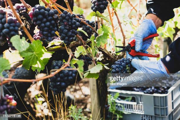 close up of person wearing rubber gloves and holding secateurs harvesting bunches of black grapes in a vineyard. - grape harvest stock pictures, royalty-free photos & images