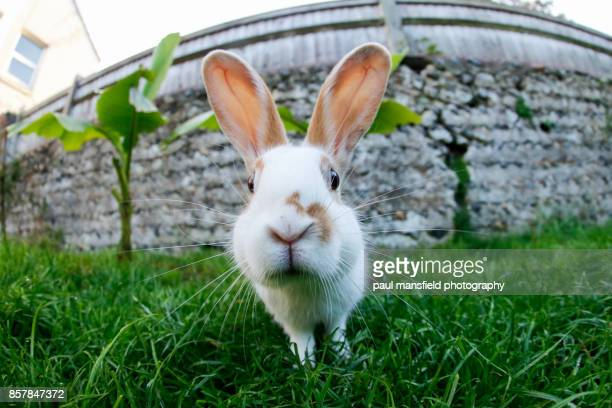 Close up of pet rabbit looking straight at camera