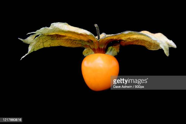 close up of physalis fruit with leaves on black background - dave ashwin stock pictures, royalty-free photos & images