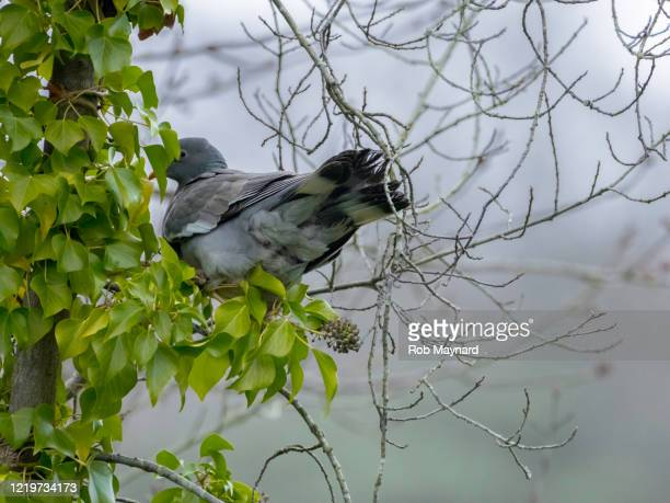 close up of pigeon bird at nature reserve in trees - publisher stock pictures, royalty-free photos & images